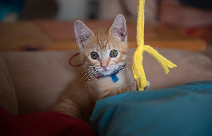 Orange tabby kitten on a couch with a fleece wand toy hanging beside him