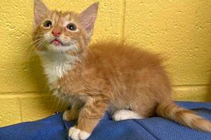 Pennywise the orange tabby kitten
