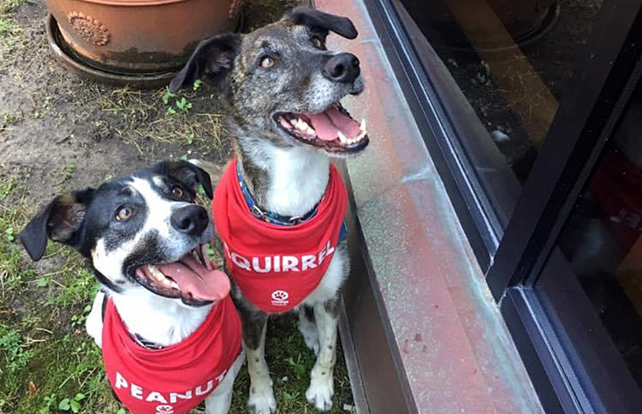 Two dogs wearing bandannas with their names on them