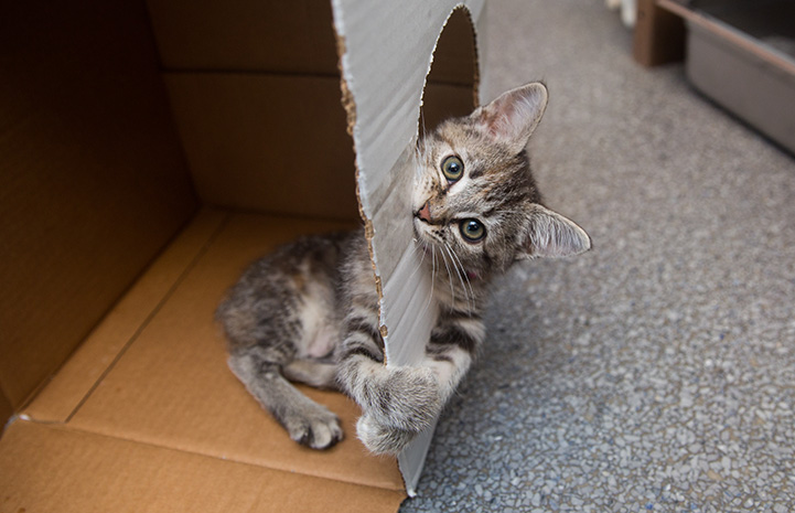 Tabby kitten playing in a cardboard box