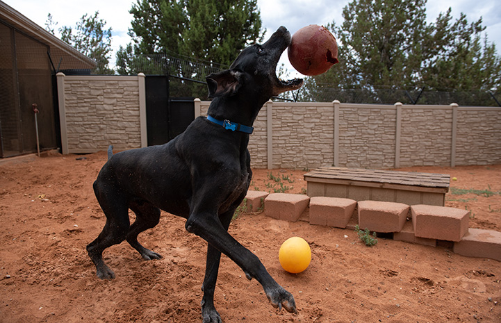 Great Dane Marmaduke playing outside with some balls