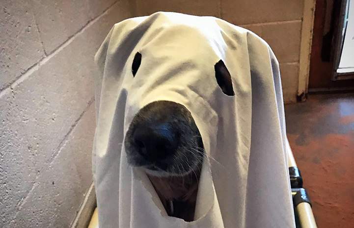 Racko the dog dressed in a ghost costume