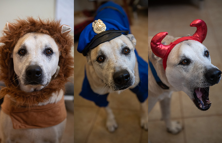 Tonya the dog dressed as a lion, police officer and a devil