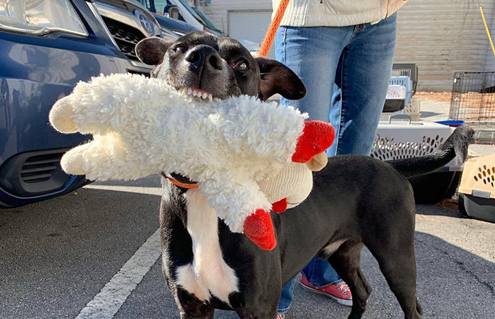 Buster the dog holding a lamb plush toy in his mouth