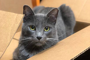 Theodore the gray cat in a cardboard box