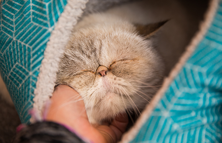 Hand scratching the chin of a happy cat with eyes closed in bliss while lying in a bed