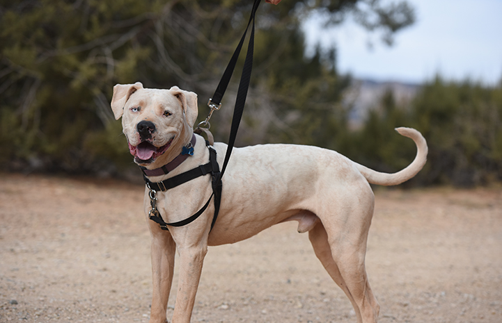 White pit-bull-terrier-type dog with one brown eye and one blue eye wearing a combo dog harness and leash