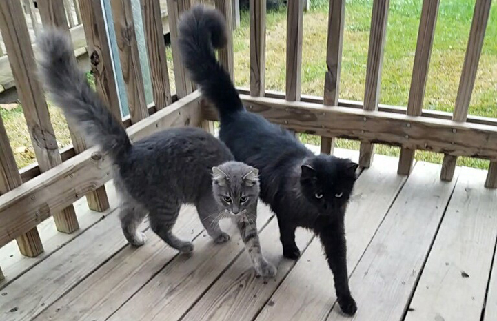 Salem the cat next to his gray feline buddy on a porch with their tails up in the air