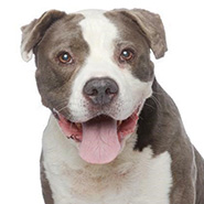 Adopt Harvey Milkbone the dog available for adoption from Los Angeles