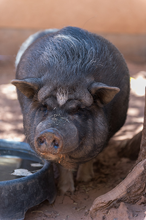 When he was still a piglet, Wilbur was abandoned in a rather strange place for a pig — a bar