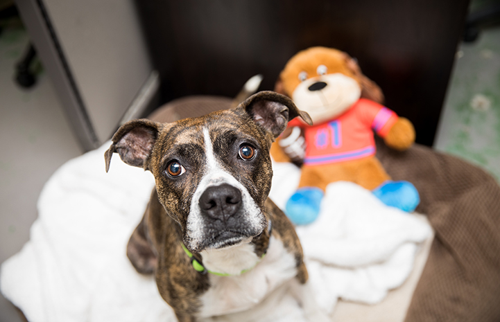 Honey, a brindle-colored pit bull terrier type dog, with a toy while she recovered from heartworm