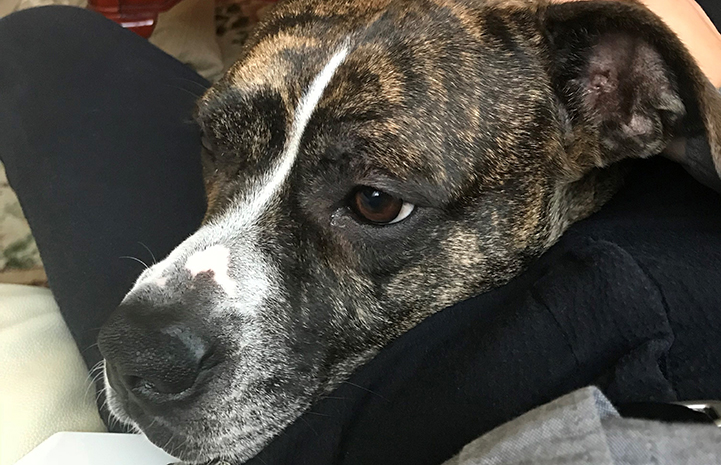 The face of Honey, a brindle pit-bull-terrier-type dog who was heartworm positive