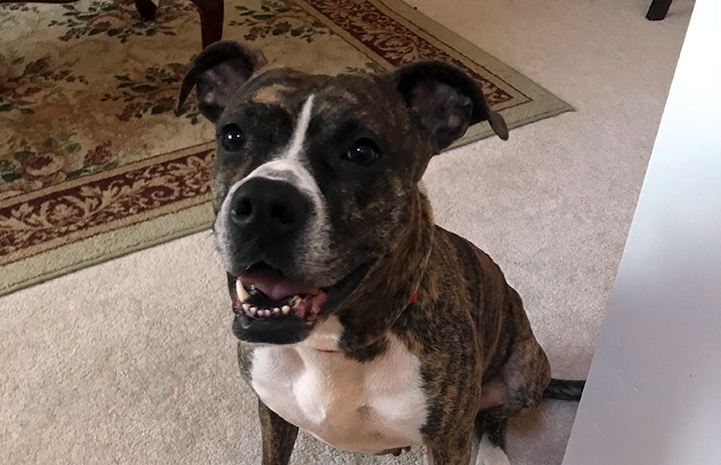 Honey, a brindle-colored pit bull terrier type dog on some carpet