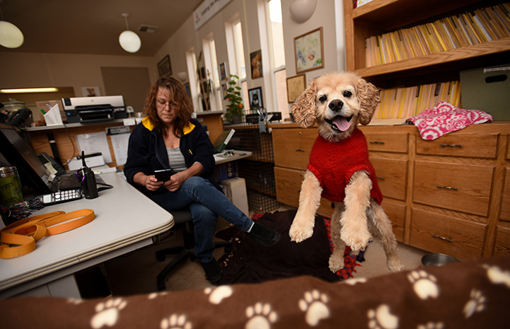 Josh, a smiling Cocker spaniel jumping up from behind a desk at Dogtown Headquarters