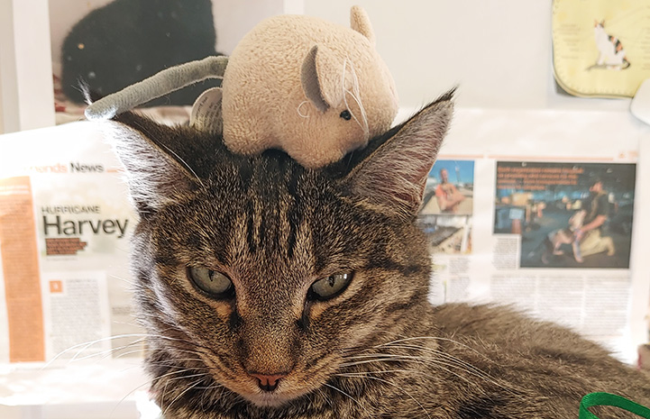 Angel the tabby cat with a toy on her head