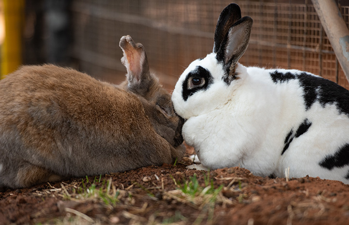 Bonnie and Capone the rabbits snuggling
