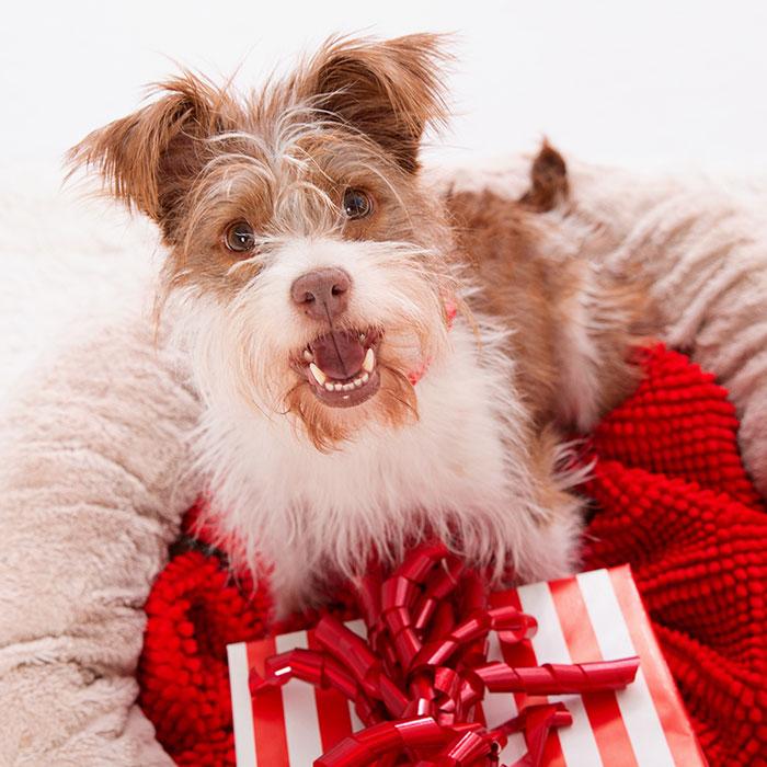Scruffy dog with a gift