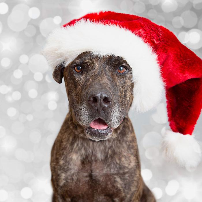Older dog wearing a Santa hat