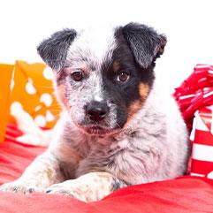Heeler puppy and presents