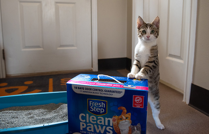 Tabby and white cat standing up with his front paws on a box of Fresh Step cat litter, with a litter pan in the background