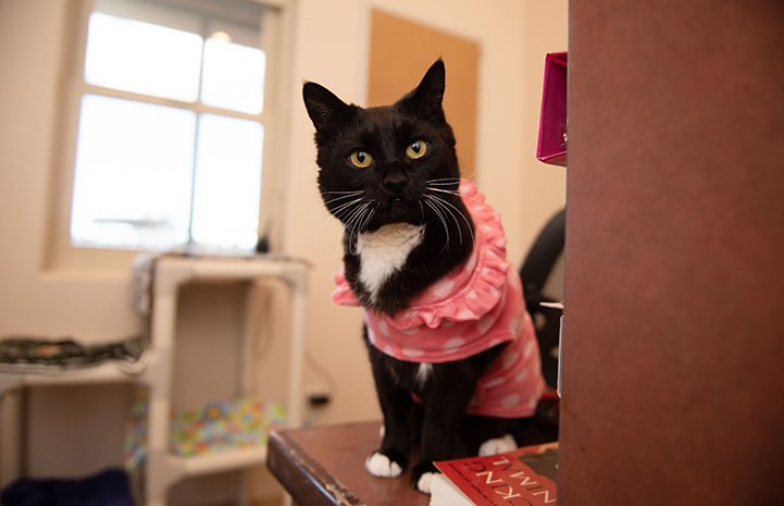 Black and white cat wearing a cute pink outfit while sitting on the corner of a desk