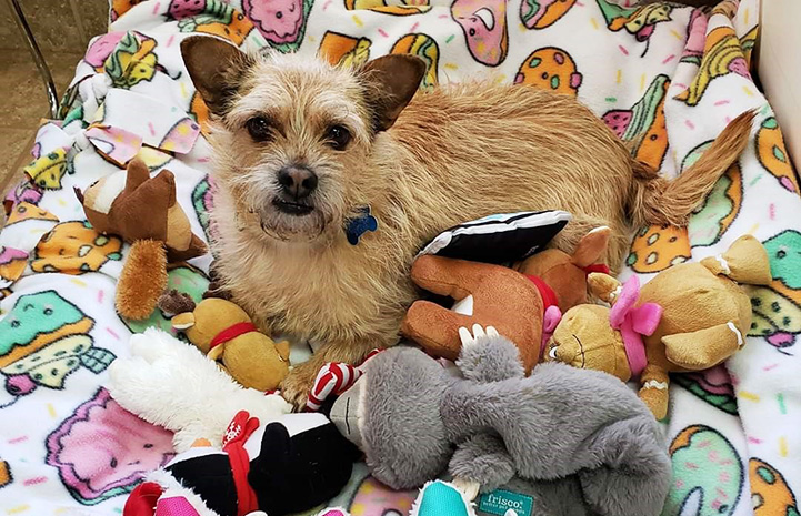 Small fuzzy dog lying on a blanket with a bunch of dog toys in front of him