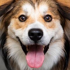 Fluffy dog smiling