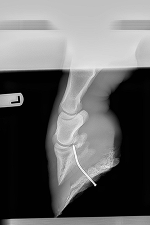 The X-ray of Willie the horse's hoof with a nail in it