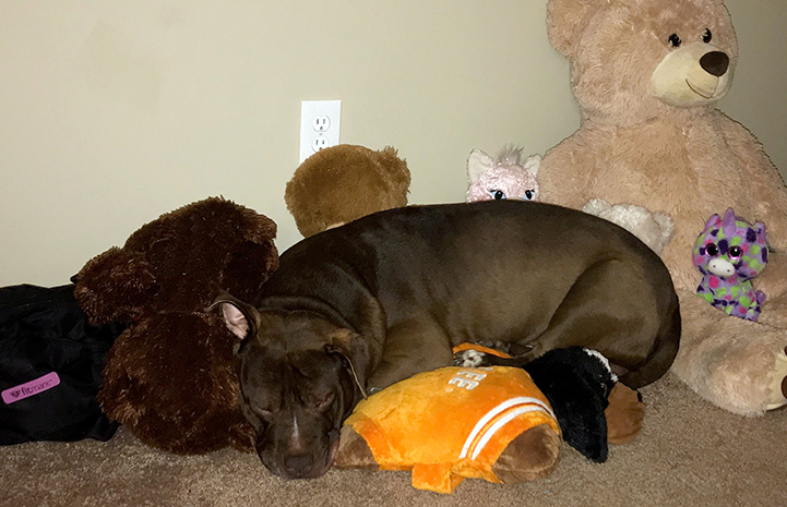 Arrow, a brown and white pit-bull-type dog, sleeping with a bunch of stuffed toys