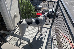 Comet the hound dog standing outside on a balcony