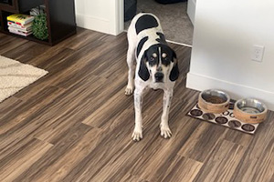 Comet the hound dog standing on a wooden floor next to his food and water dish