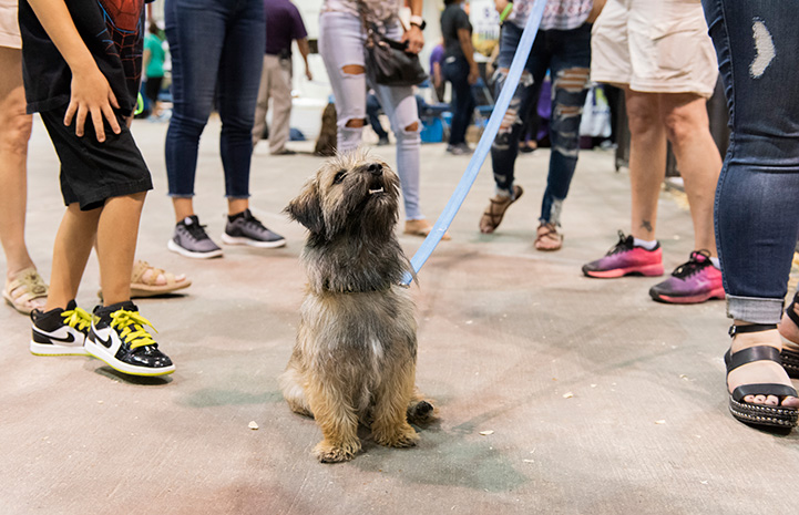 Terrier mix on a leash with a crowd behind him