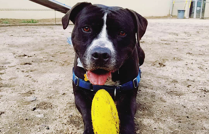 Huck the black and white pit bull terrier with a toy between his front paws