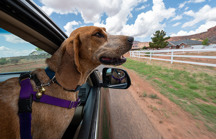 Fenton the hound with his head out a car window
