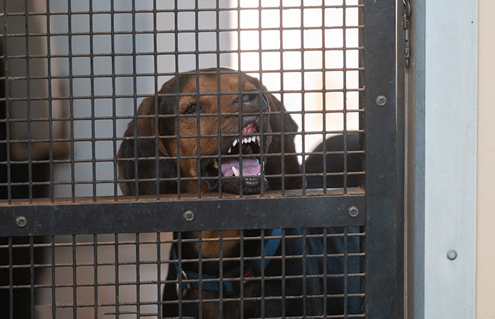 Larry the hound with his lips up against a gate exposing his teeth