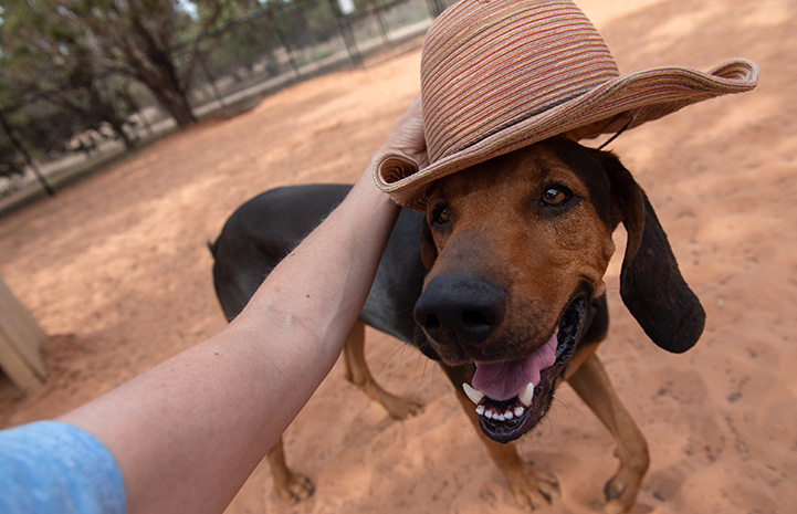 A person putting a hat on Larry the hound dog