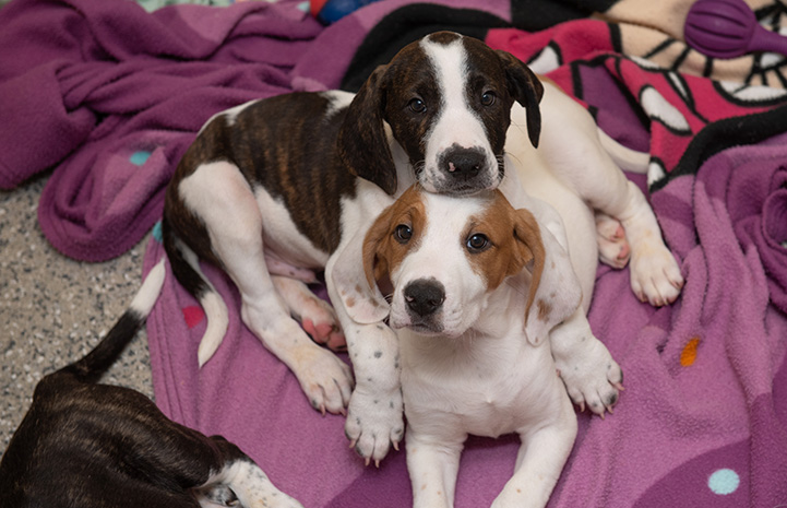 Pair of hound puppies snugging together on a blanket