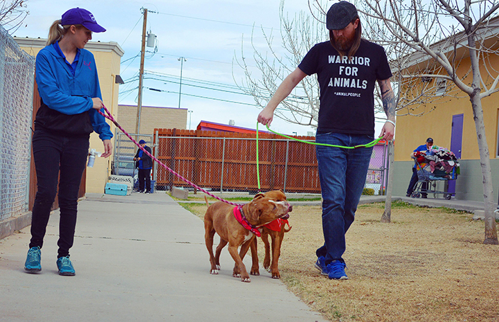 Man and woman each walking Crimson and Clover, a pair of brown and white pit-bull-terrier-type dog siblings