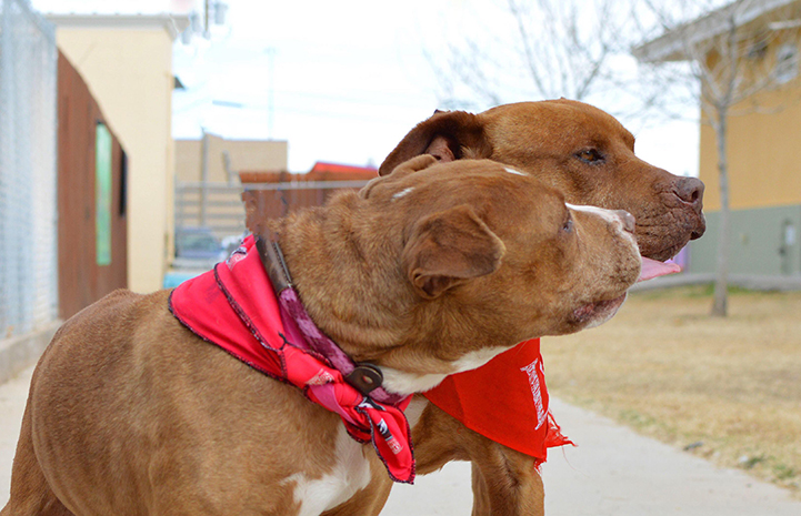 Brown and white pit-bull-terrier-type dog Clover kisses her brother Crimson nonstop