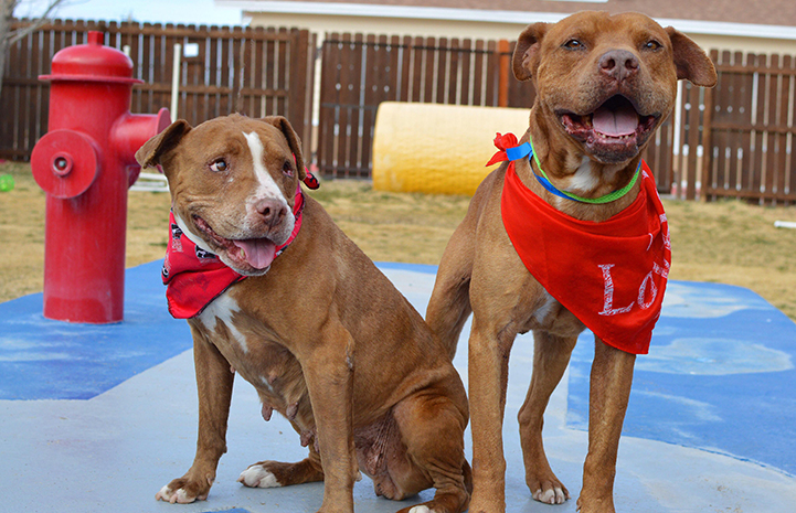Crimson and Clover, a pair of brown and white pit-bull-terrier-type dog siblings