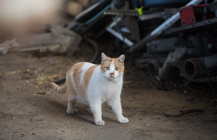 Ear-tipped orange and white short-hair community (feral) cat with debris behind him