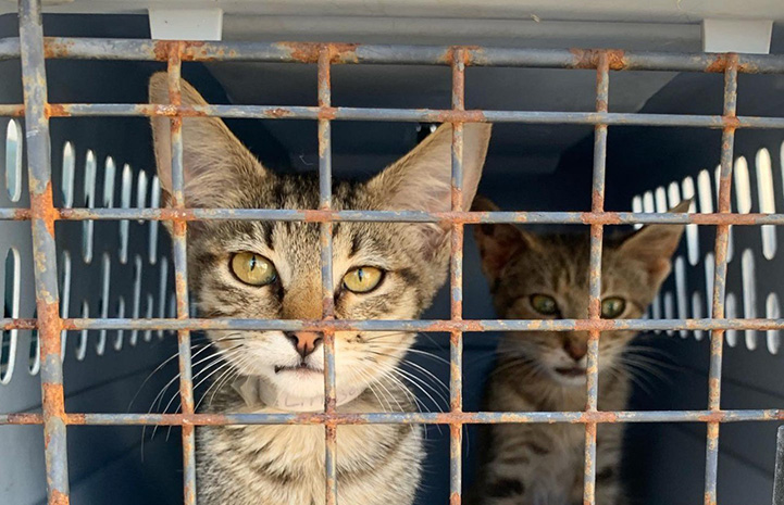 Tabby cats in a crate being transported