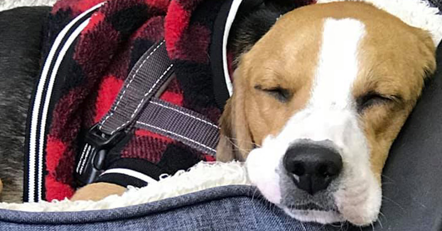 Billy the dog sleeping in a bed covered with a red plaid blanket