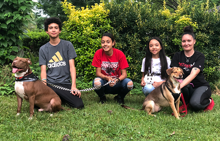 Harvey the brown and white pit bull terrier type dog with his new canine sister and family