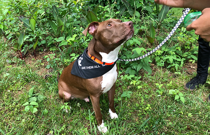 Harvey the brown and white pit bull terrier type dog wearing a Save Them All bandanna and looking up at someone's hand