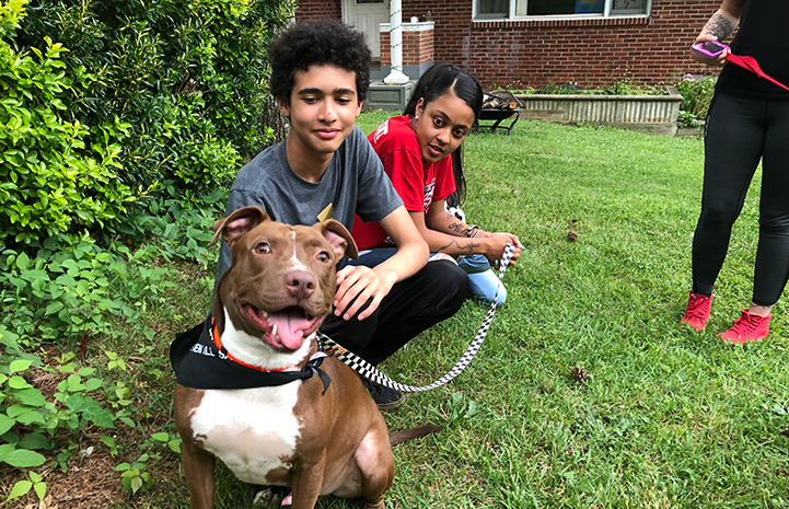 Harvey the brown and white pit bull terrier type dog in the yard with his new family