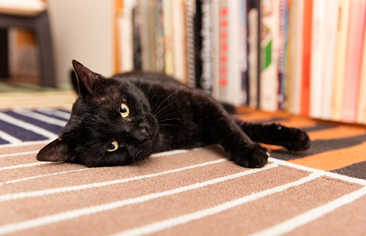 Monty was the lucky cat to go into the first available foster home