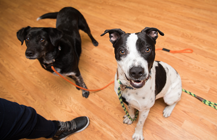 Mulligan, a black and white pit-bull-terrier-type dog, next to another black dog