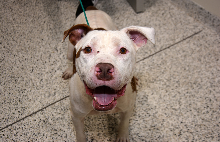 Monster, a brown and white smiling pit bull terrier, from the transport to San Antonio