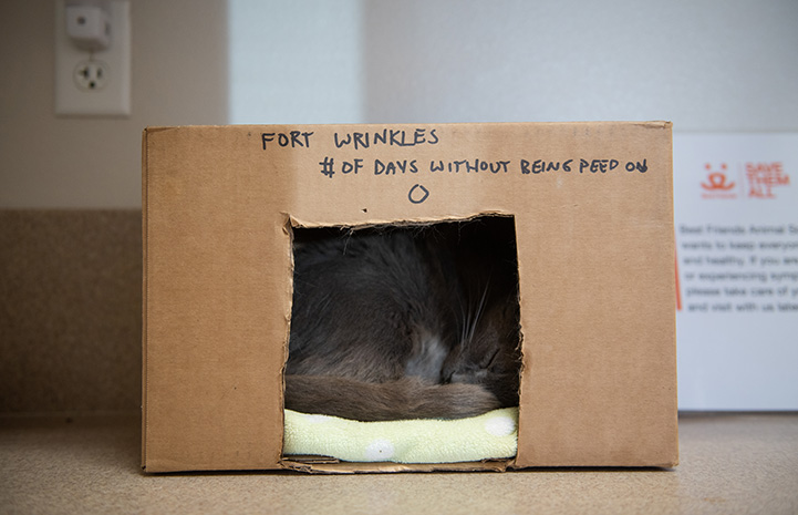 "Wrinkles the cat lying in a cardboard box marked with ""Fort Wrinkes # of days without being peed on 0"""